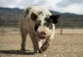 Pigs 6.1.2019