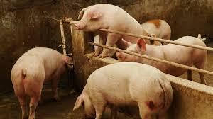 Swine Fever II 1.9.2020