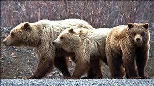 Grizzlies I 9.8.2020.jpg