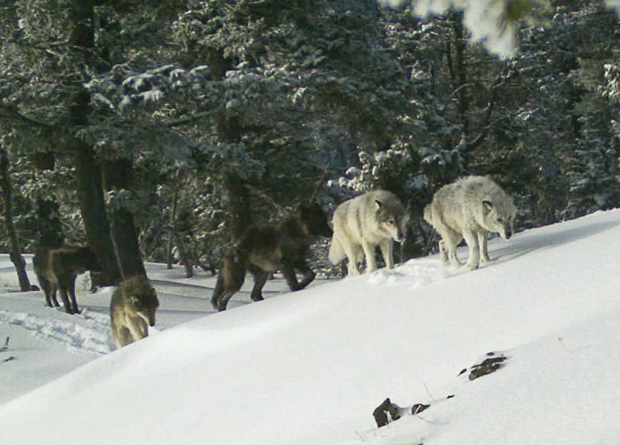 gray wolf III  9.25.2021.jpg
