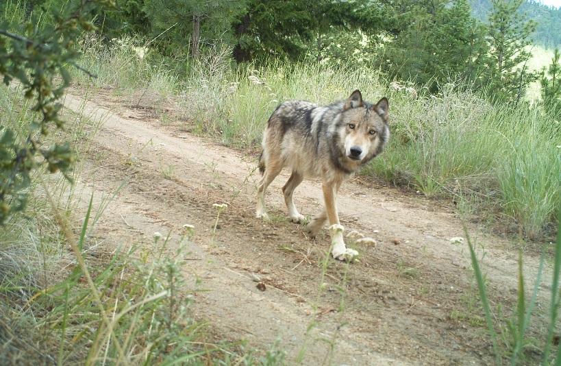 gray wolf IV  9.25.2021.jpg