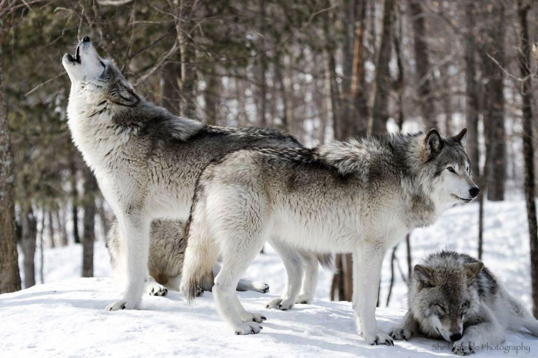 gray wolf V  9.25.2021.jpg