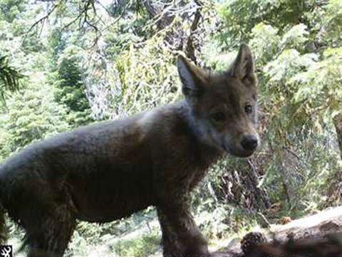 Gray wolf California II 10.4.2021.jpg
