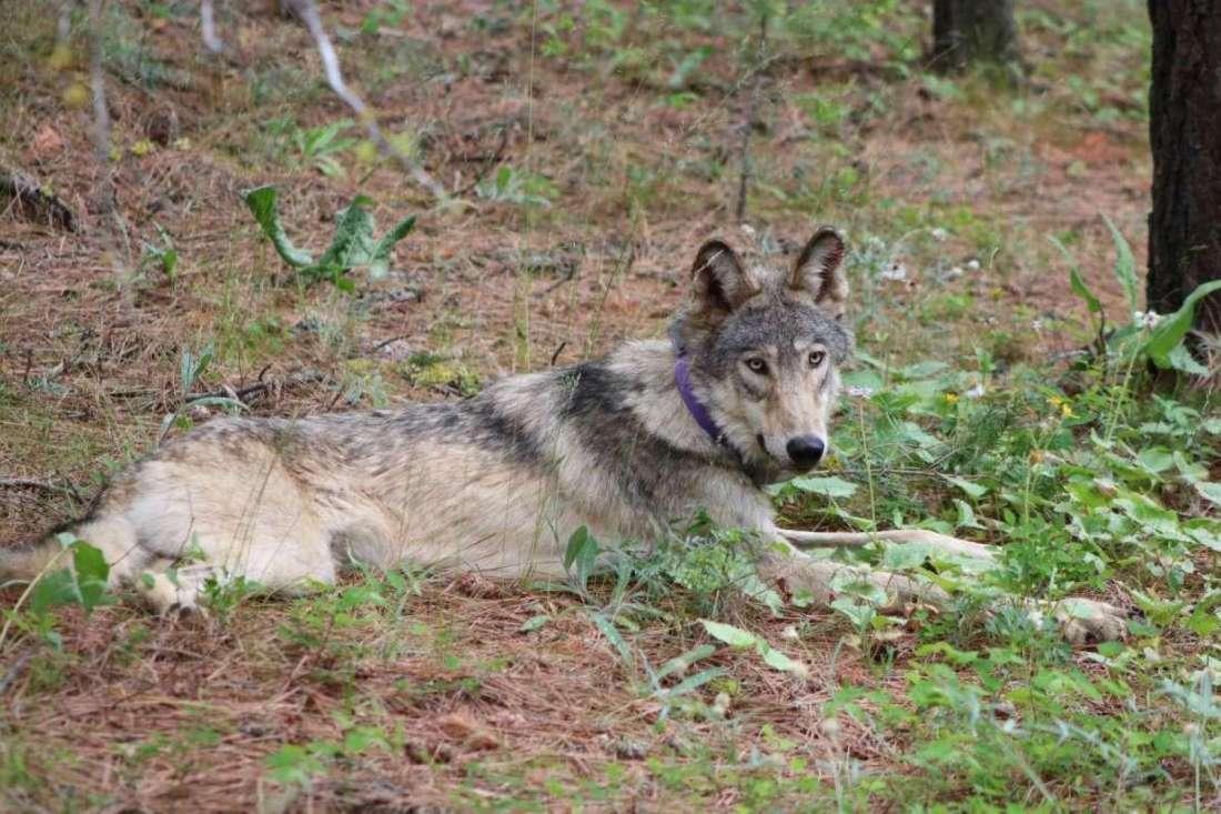 Gray wolf California V 10.4.2021.jpg